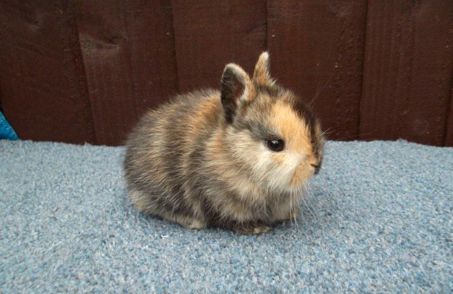 Conejos enanos arlequ n - Casas para conejos enanos ...